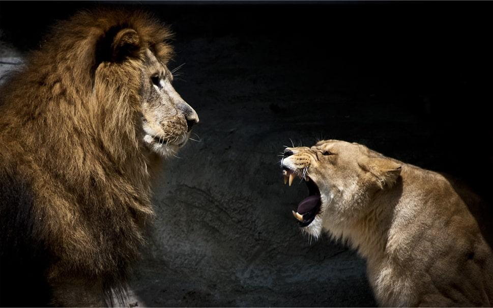 На картинке лев не страшен